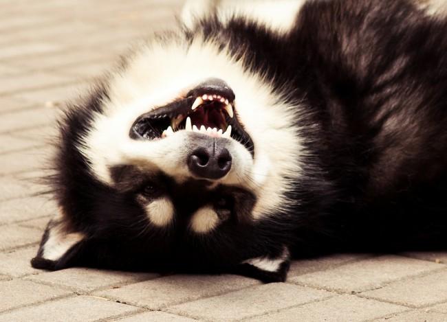 сколько стоит щенок аляскинского маламута