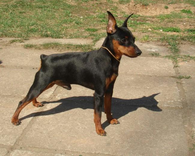 собака карликовый пинчер