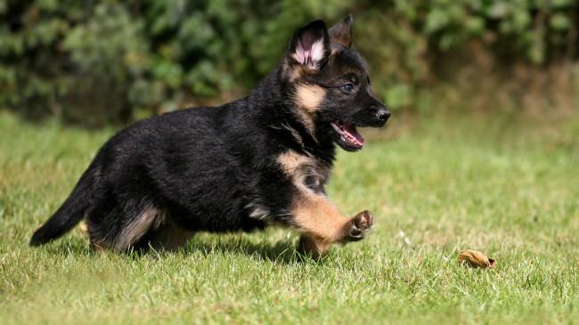 немецкая овчарка цена щенка