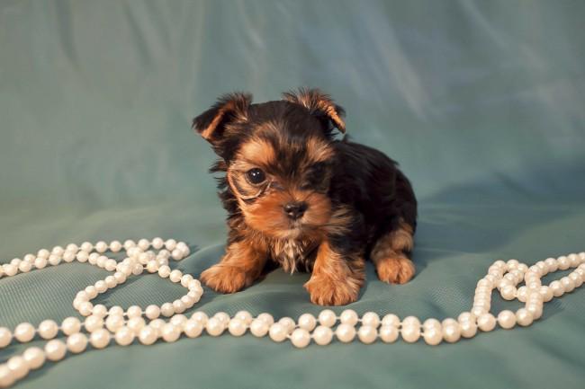 йоркширский терьер цена щенка