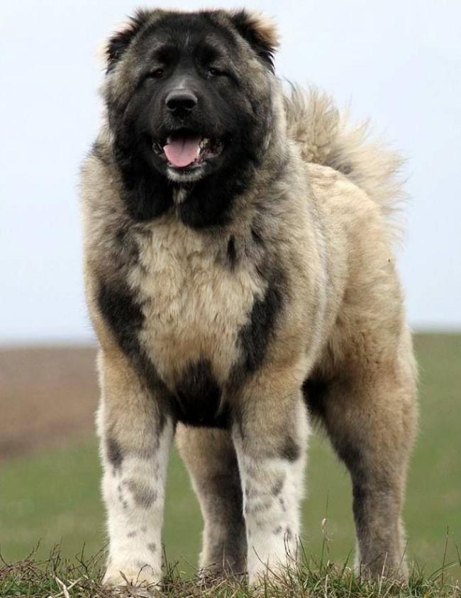 Кавказская овчарка: фото собаки, цена, описание породы ...