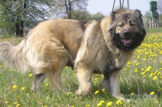 гигиена и здоровье кавказской овчарки