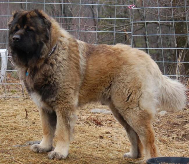 болезни породы кавказская овчарка