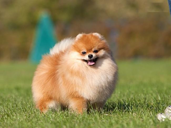 померанский шпиц фото собаки