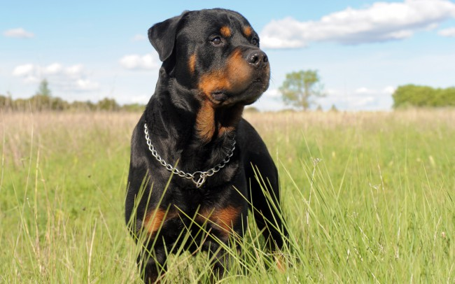 ротвейлер цена собаки