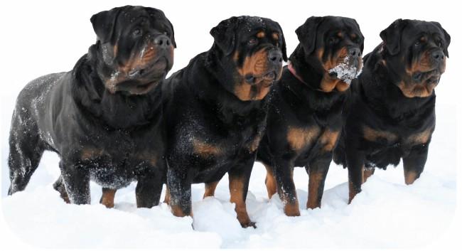 собаки породы ротвейлер
