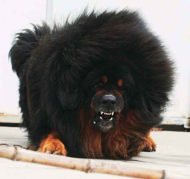 характер тибетского мастифа