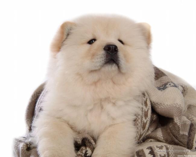 купить щенка чау-чау