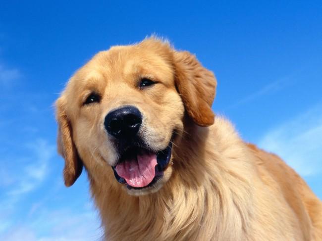 собака золотистый ретривер
