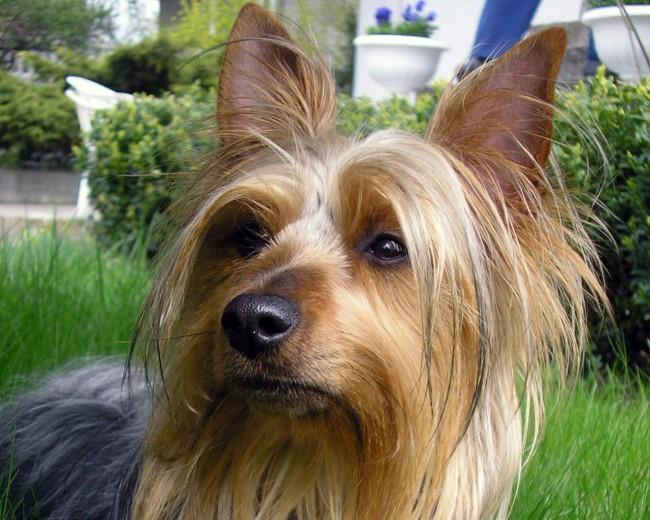 маленькая порода собак австралийский шелковистый терьер