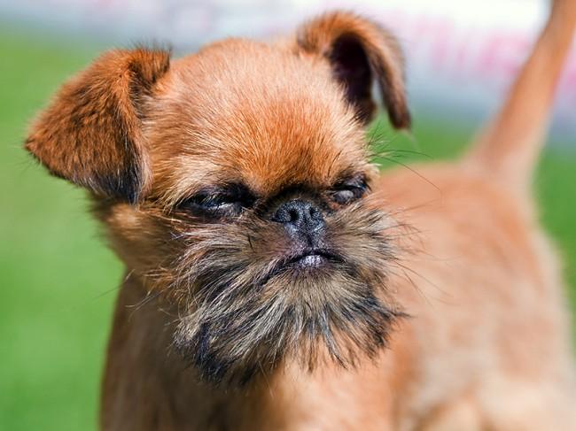 миниатюрная порода собак брюссельский гриффон
