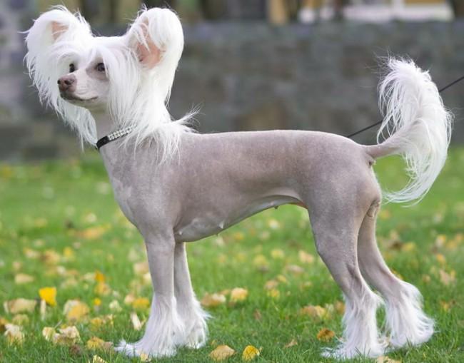 китайская хохлатая - маленькие собаки с фотографиями и названиями пород