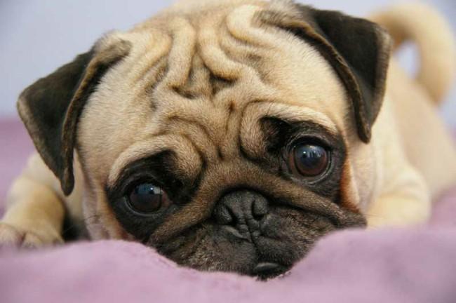 маленькая порода собак мопс