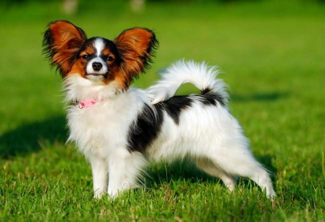 собака папильон фото