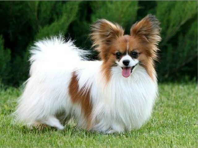 маленькая порода собак папильон