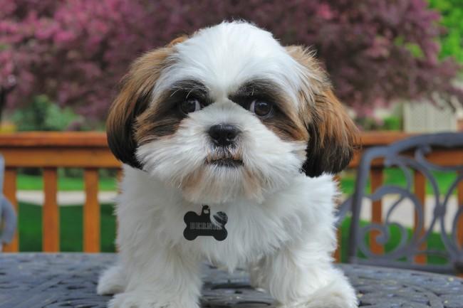 маленькая порода собак ши-тцу