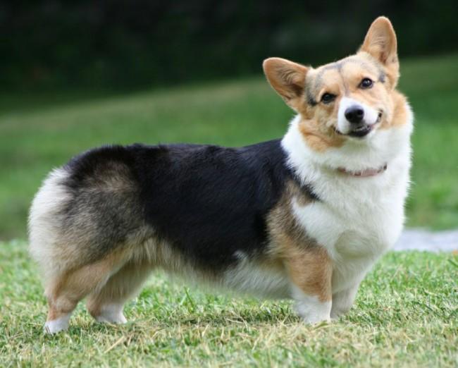 вельш корги пемброк - маленькая порода собак