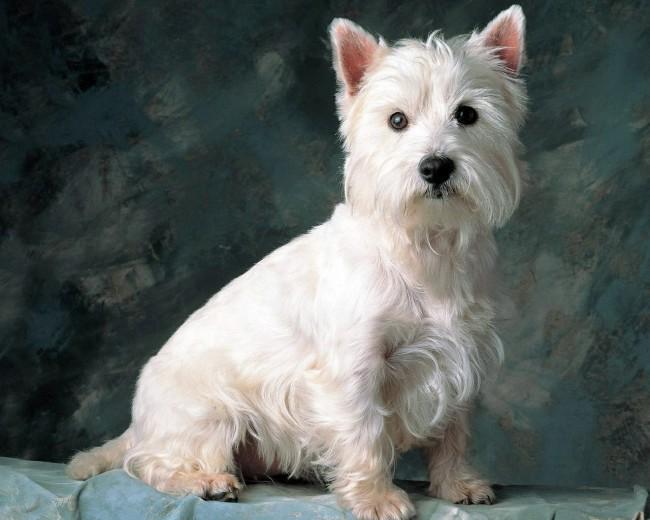 вест хайленд уайт терьер - фото собак маленьких пород