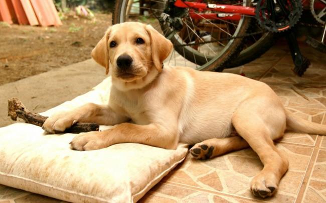 дрессировка породы собак лабрадор ретривер