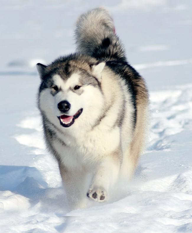 Аляскинский маламут: фото, цена, описание породы, характер, видео - Мой Барбос