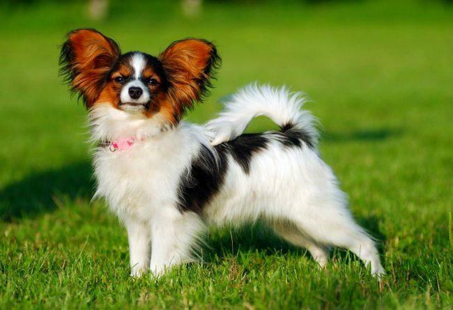 папильон собака фото
