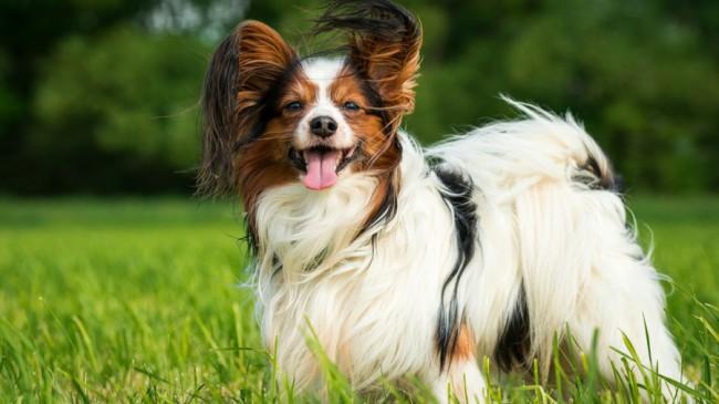 папийон порода собак
