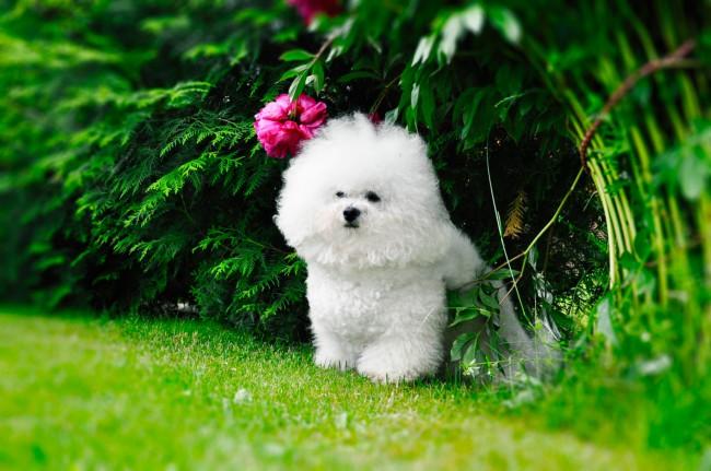 карликовая собачка бишон фризе