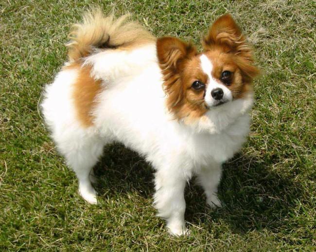 болезни породы собак папийона