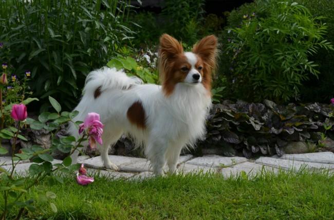 папийон фото собаки