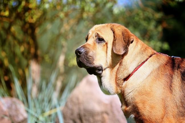 Самые большие породы собак в мире: фото, описание