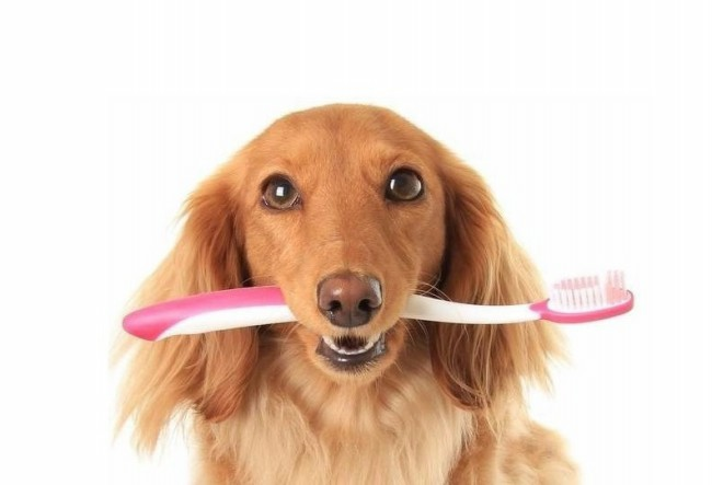 как чистить зубы собаке фото
