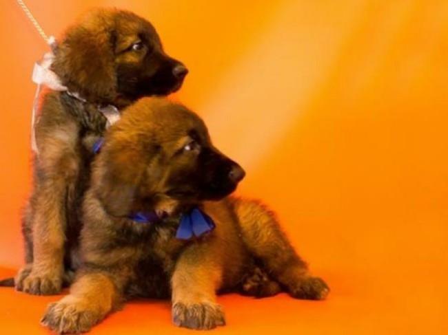 цена щенка леонбергера