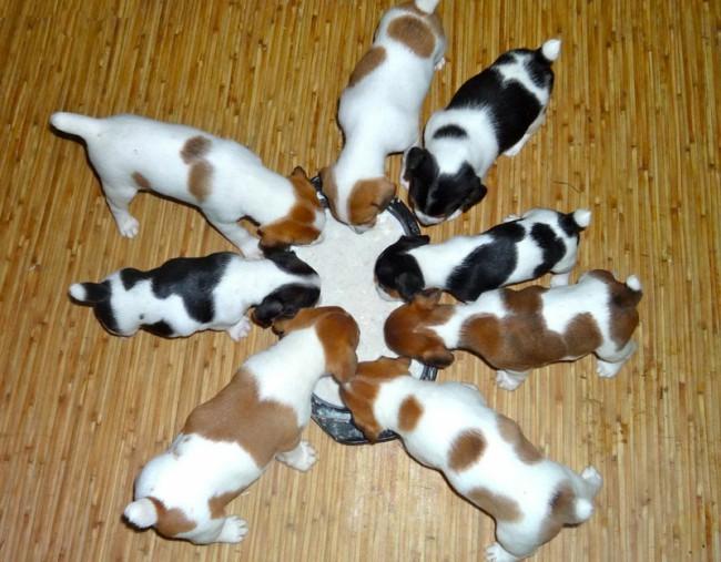 какой кашей кормить щенка