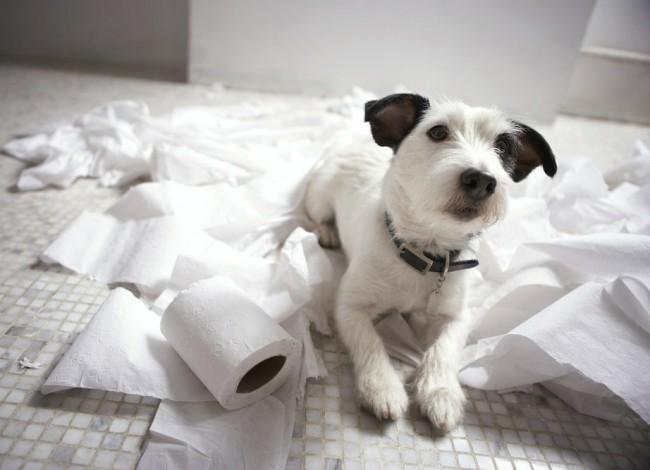 как приучить собаку к туалету в квартире