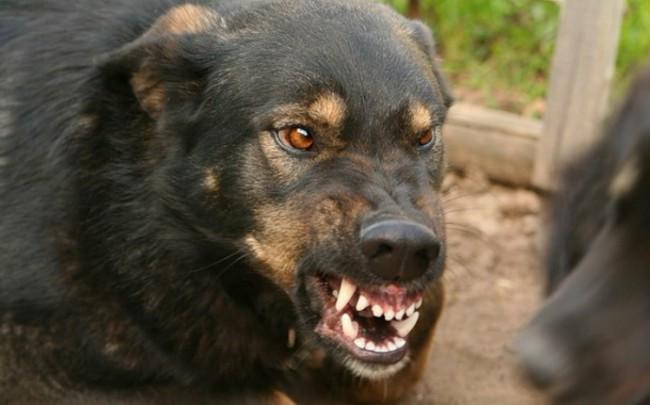 инкубационный период бешенства у собак