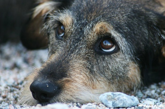 кишечная чумка у собак
