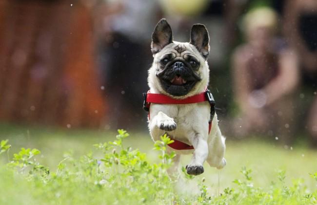 Мопс собака фото