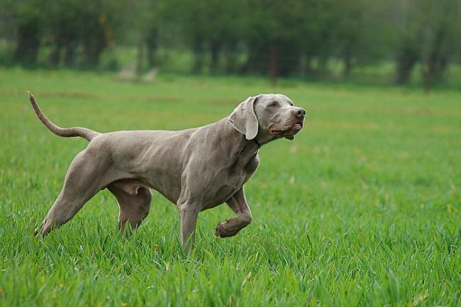 Веймаранер фото собаки