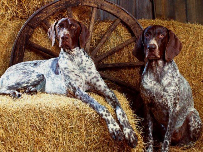 Немецкий курцхаар фото собаки