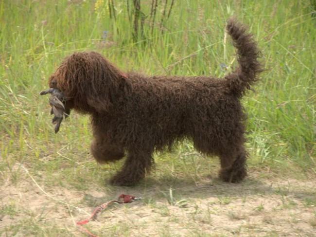 французская водяная собака фото