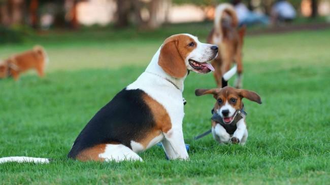 Бигль охотничья собака для квартиры
