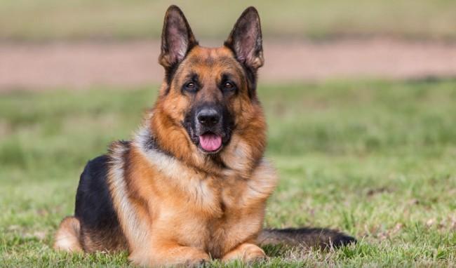 Немецкая овчарка фото собаки