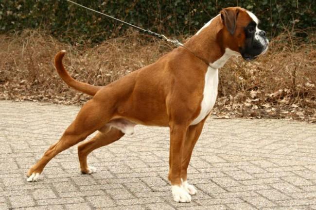 Немецкий боксер фото