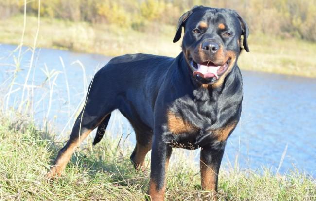 Собака ротвейлер фото