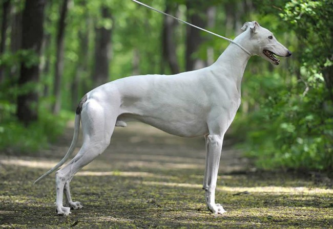 Борзая собака грейхаунд фото