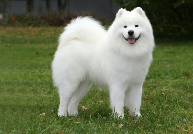 Самоедская собака гипоаллергенная порода