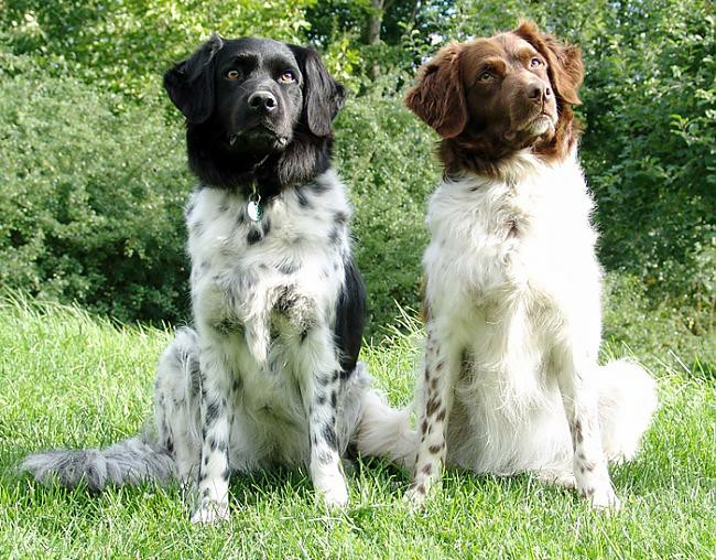 Стабихун фото собаки