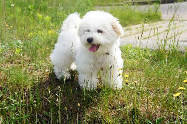 Бишон фризе фото собаки