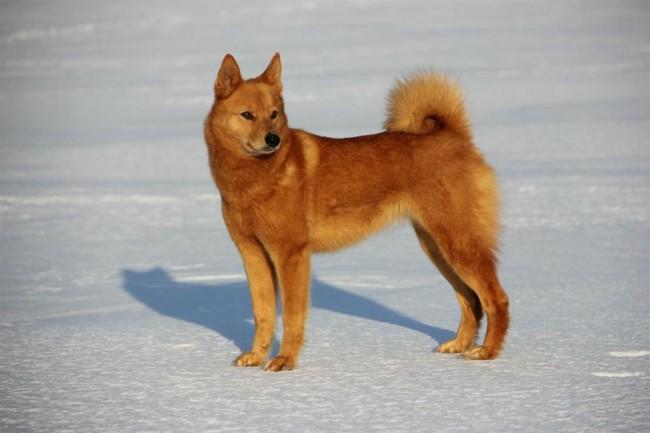 Карело-финская лайка фото
