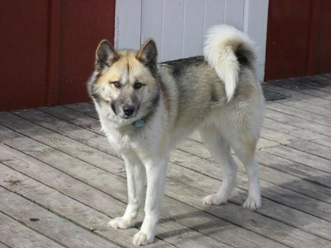Гренландская ездовая собака фото